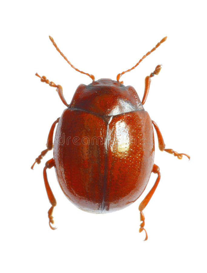 Beetle Chrysolina blanchei stock photography