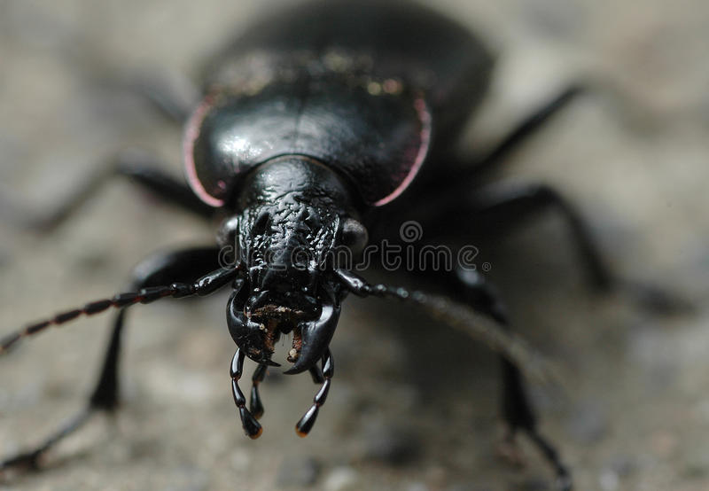Beetle close up macro stock photography