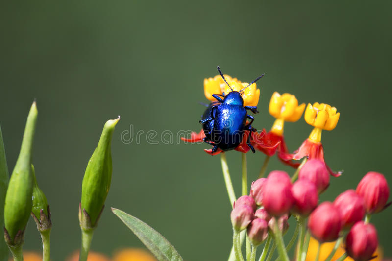 Beetle couple sitting on the flower stock image