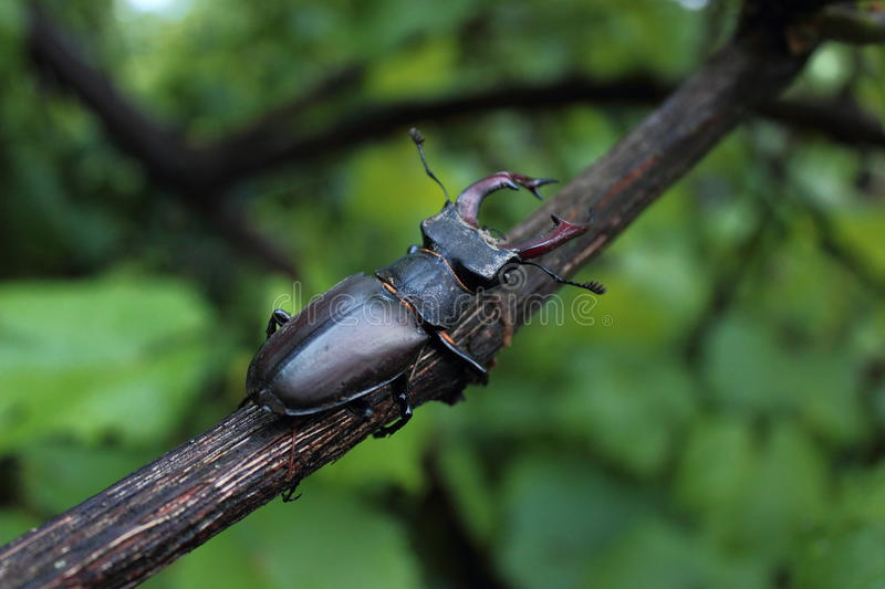 stag beetle stock image