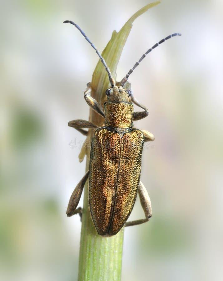 Download Beetle Donacia Bicolor Royalty Free Stock Photos - Image: 18227168