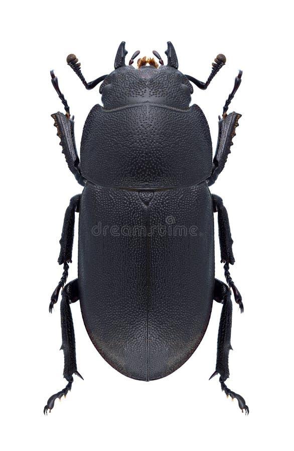 Download Beetle Dorcus Parallelipipedus Stock Photo - Image: 83721454