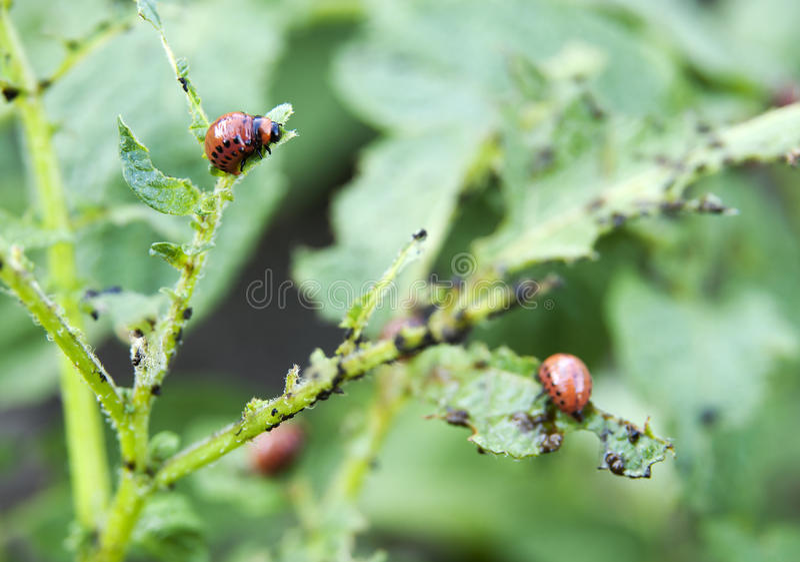 Beetle Eats The Leaves Of Potato Stock Photography