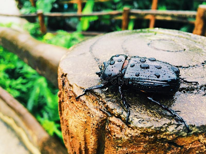 Download Beetle On A Fence In Costa Rica Stock Photo - Image: 83723174