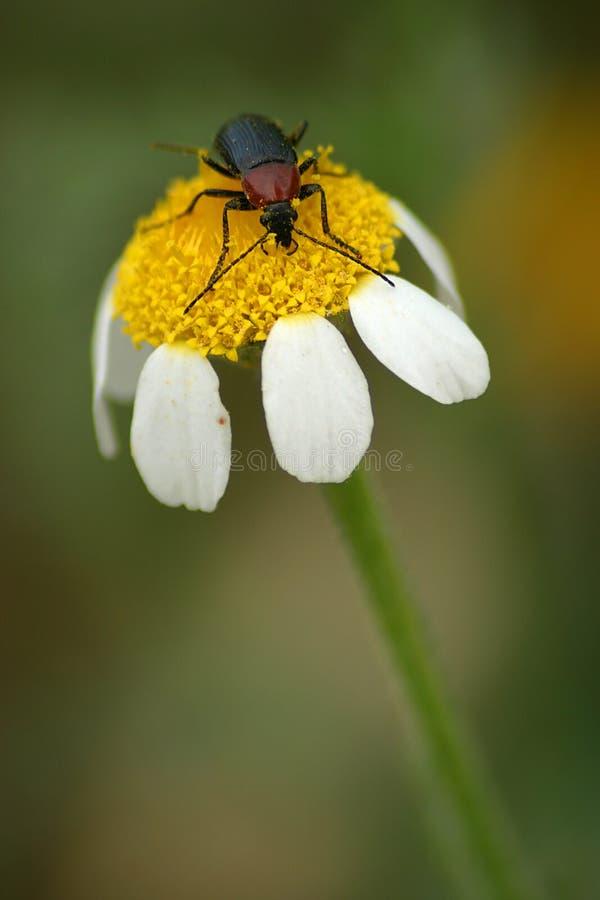 Beetle on flower stock photos