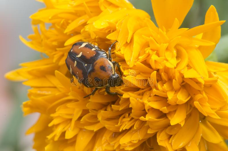 Beetle on a flower royalty free stock photo