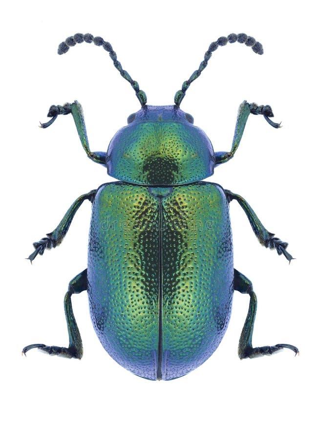 Free Beetle Gastrophysa Viridula Royalty Free Stock Photography - 101490307