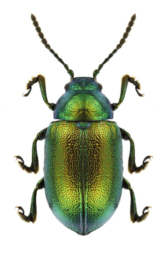 Free Beetle Gastrophysa Viridula Stock Photos - 91313283
