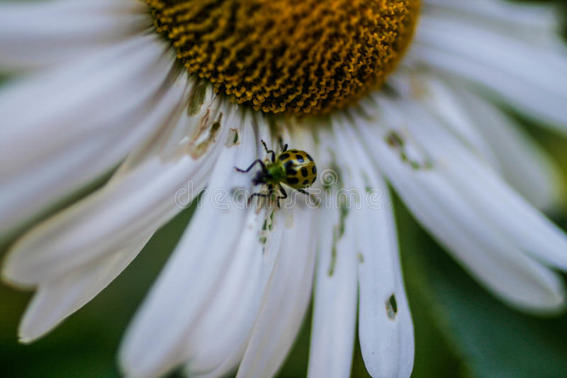Beetle on giant daisy royalty free stock images