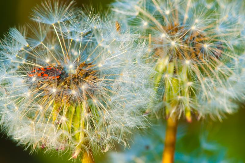 Beetle hidden in dandelion flower at sunset royalty free stock images