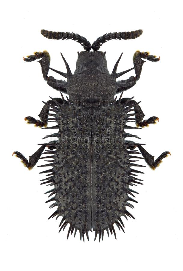 Download Beetle Hispa atra stock photo. Image of wild, wildlife - 91385358