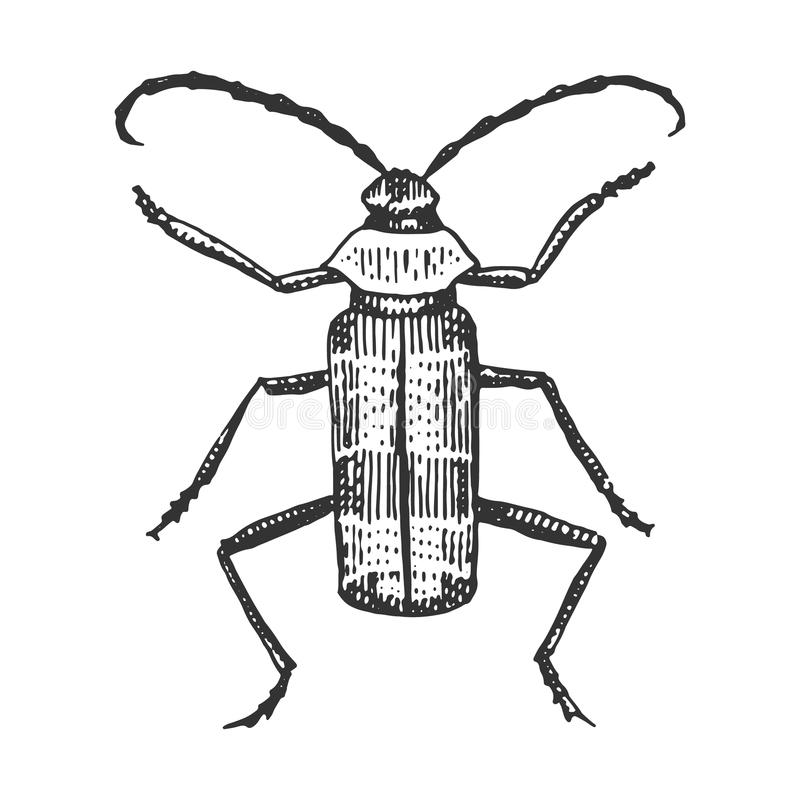 Beetle, insect species isolated engraved, hand drawn animal in vintage style. Old royalty free illustration