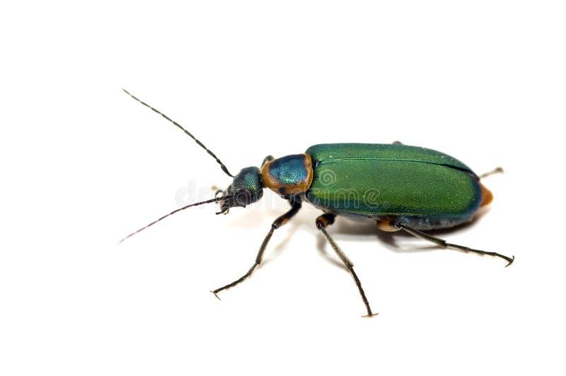 Beetle isolated on white royalty free stock photo
