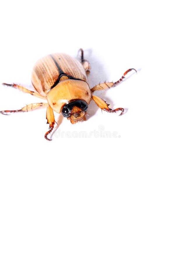 Beetle isolated on white background royalty free stock photos