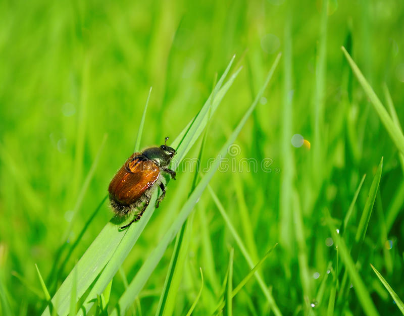 Beetle In Lawn Stock Image