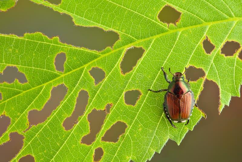 Download Beetle on leaf stock photo. Image of arthropod, holes - 26003590