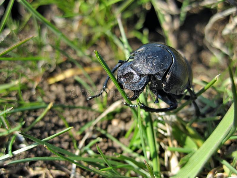 Beetle lethrus apterus. This photo shows the beetle lethrus apterus stock image