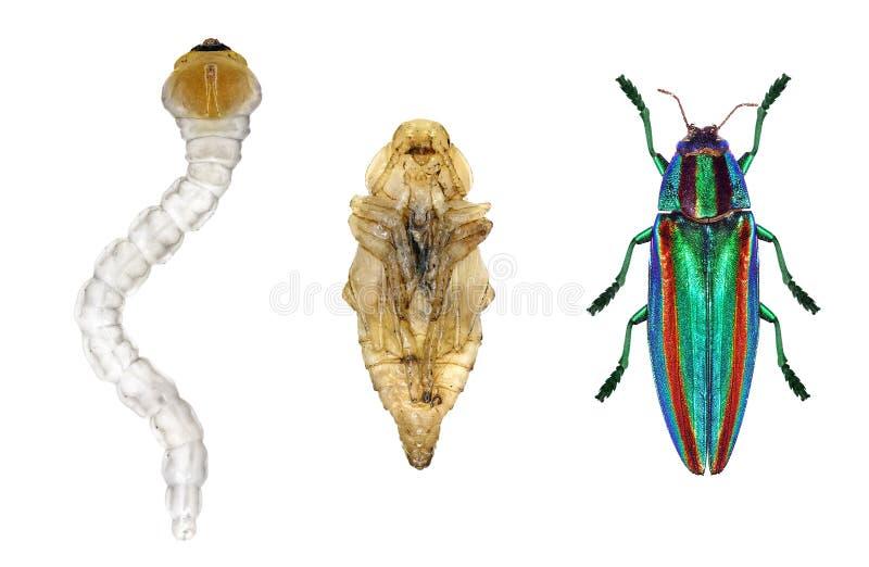 Beetle life cycle stock photos