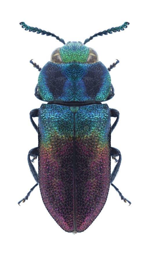 Beetle metallic wood borer Anthaxia anadyomene. On a white background stock images