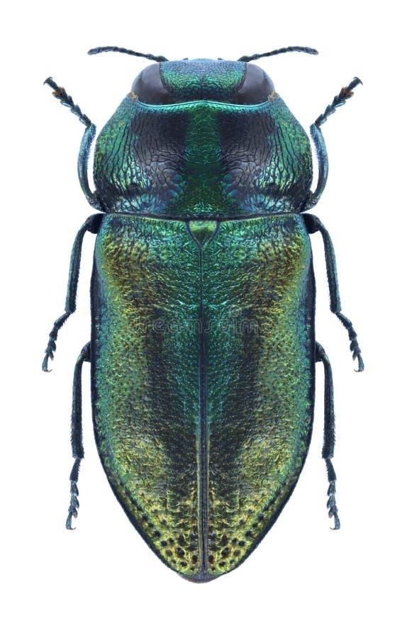 Beetle metallic wood borer Anthaxia fulgurans male stock photos