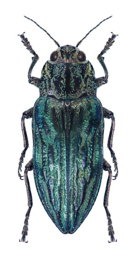 Beetle metallic wood borer Chalcophora alternans. On a white background royalty free stock image