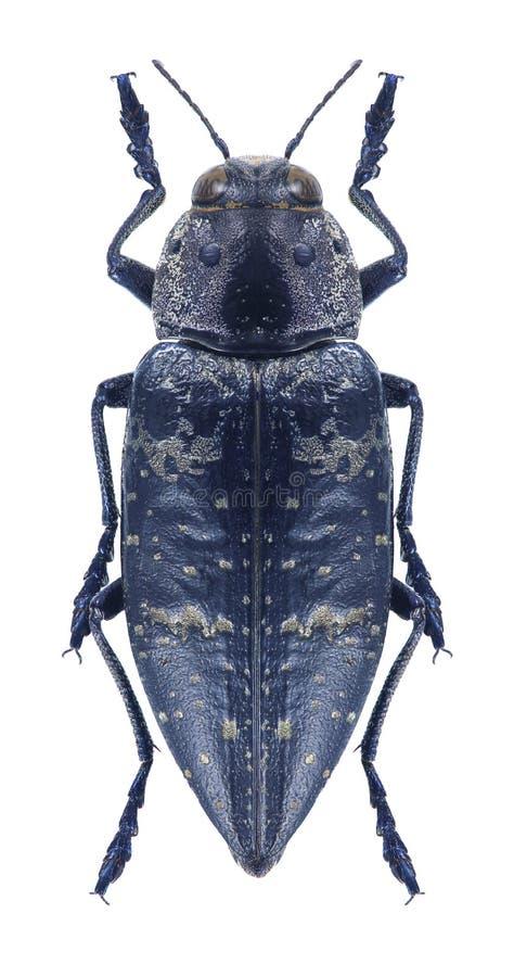 Beetle metallic wood borer Chalcophorella bagdadensis. On a white background royalty free stock images
