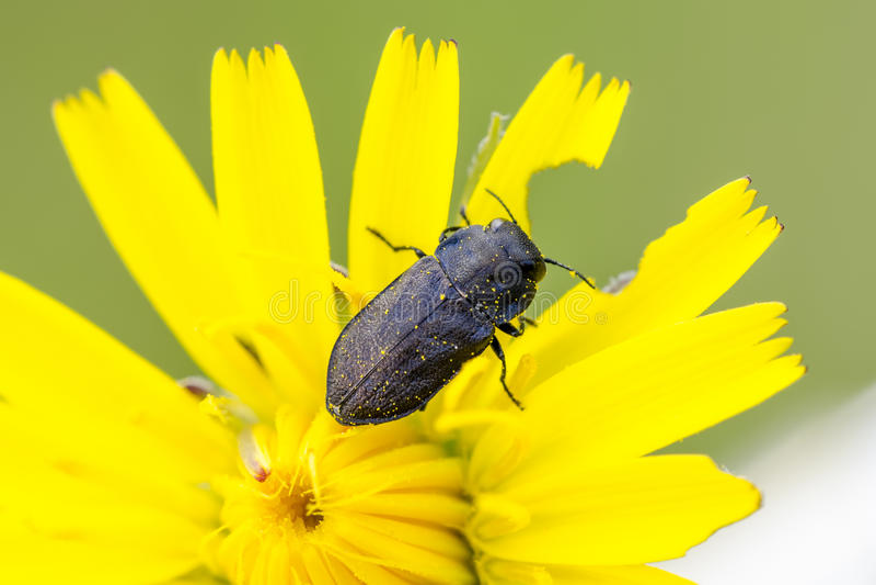 Beetle. Metallic wood-boring beetle Anthaxia quadripunctata on yellow flower stock images
