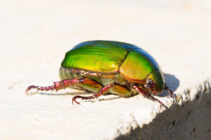 Beetle or Metallic Wood-boring (Buprestid) stock photo