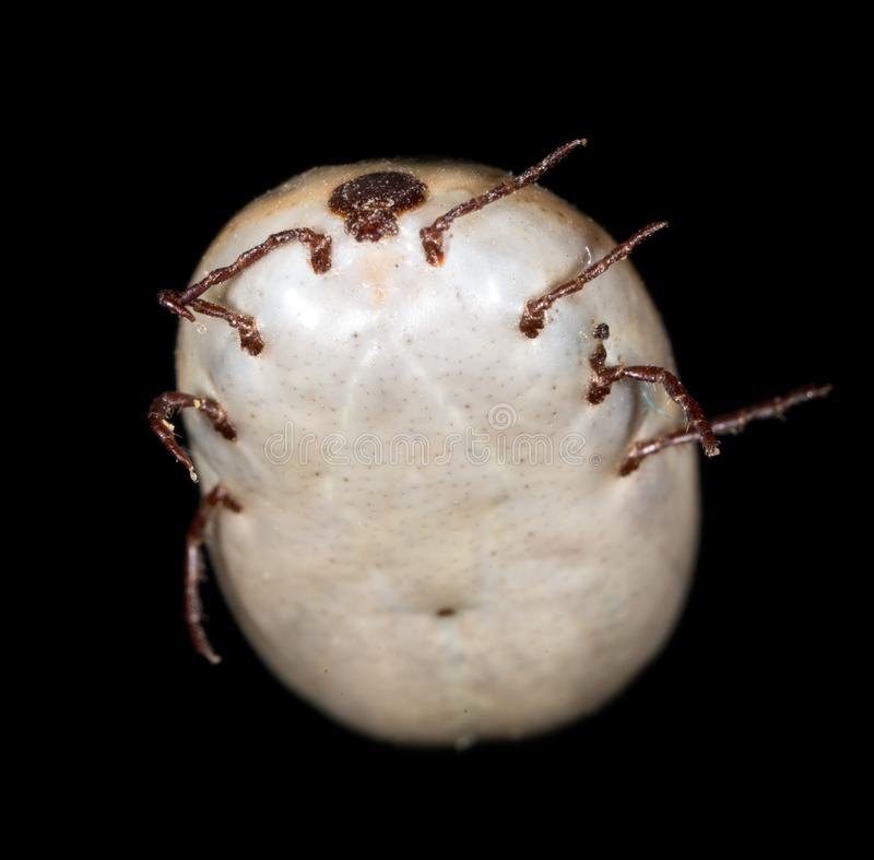 Beetle mite on a black background royalty free stock photography