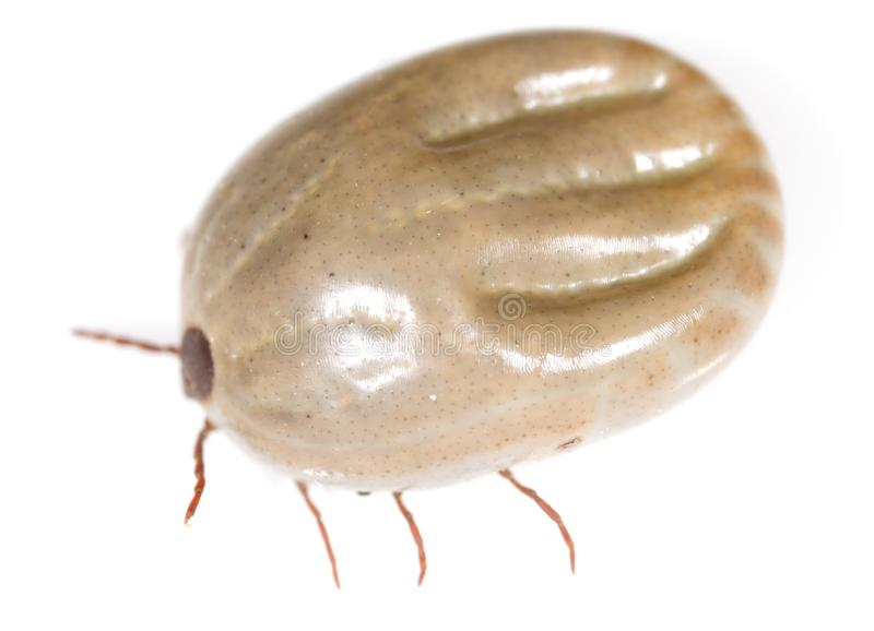 Beetle mite on a white background royalty free stock photography