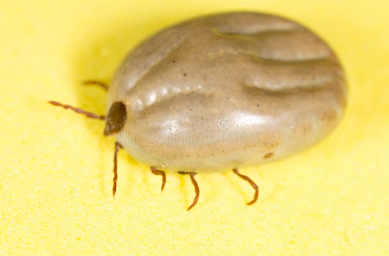 Beetle mite on a yellow background royalty free stock image