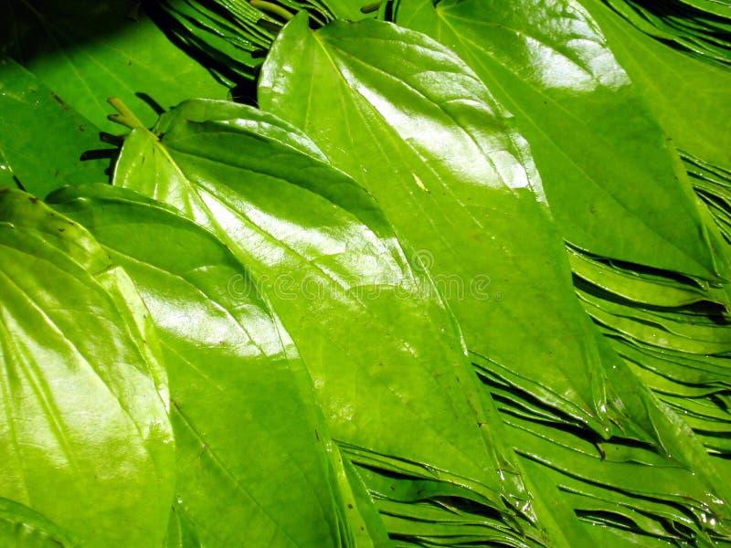 Download Beetle Nut Leaves stock image. Image of herbal, natural - 13667913