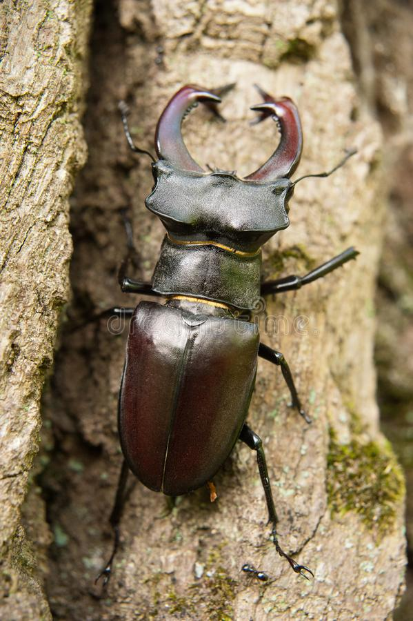 Beetle on the oak bark royalty free stock photography