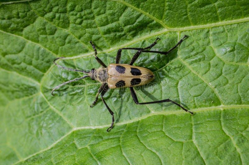Beetle Pachyta quadrimaculata stock image