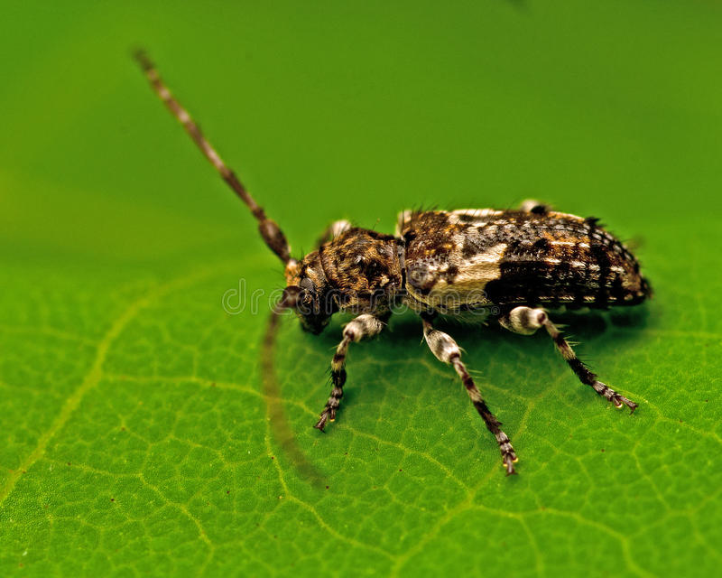 Beetle Pogonocherus fasciculatus stock photos