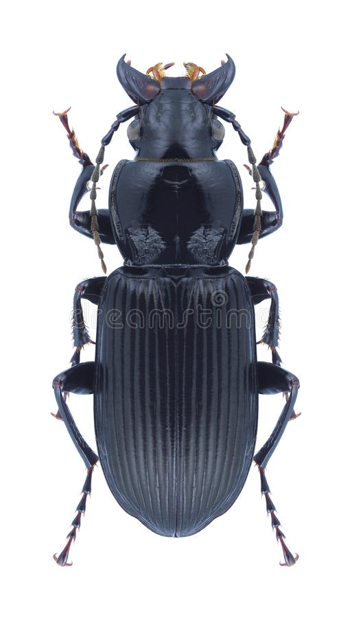 Beetle Pterostichus niger. On a white background stock photography