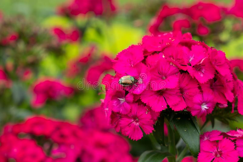 Beetle on red flowers. Shiny, color, family, natural, insects, wings, colorful, animal, close, up, macro, close-up, nature, forest, beetles, spring, beautiful stock photography