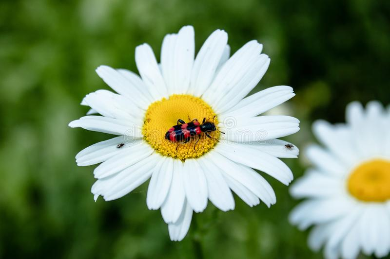 Beetle with red wings on chamomile. Photo of an insect on a white daisy stock photo