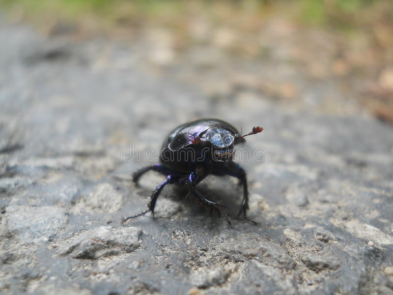 A beetle royalty free stock photo