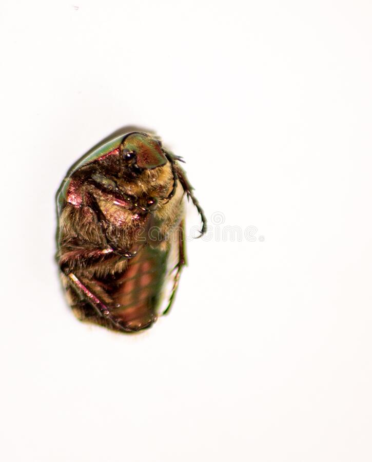 Beetle`s image. The golden cetonia Aurata Cetonia is a beetle belonging to the Scrabble family, subfamily Cetoniinae. Beetle`s image. The golden cetonia Aurata royalty free stock photos