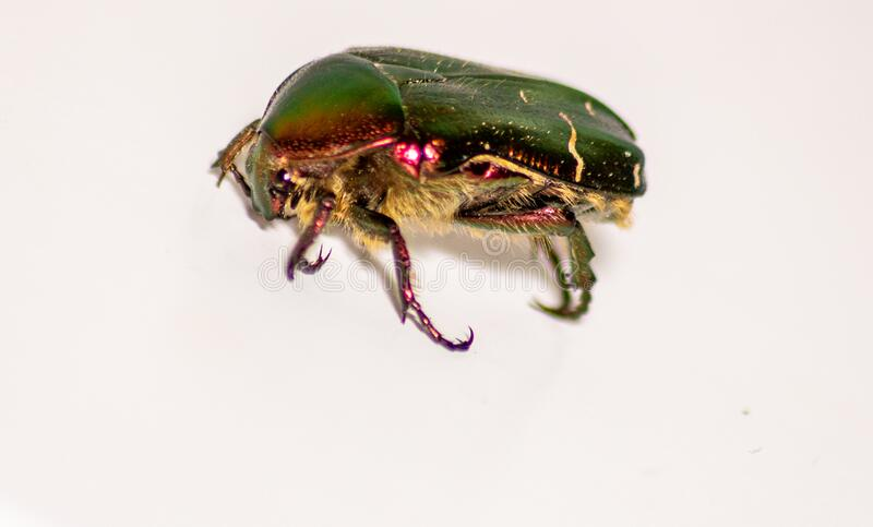 Beetle`s image. The golden cetonia Aurata Cetonia is a beetle belonging to the Scrabble family, subfamily Cetoniinae. Beetle`s image. The golden cetonia Aurata stock photo