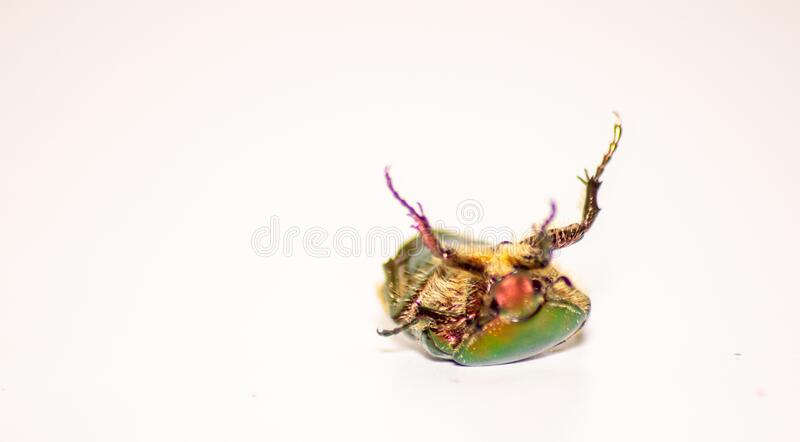 Beetle`s image. The golden cetonia Aurata Cetonia is a beetle belonging to the Scrabble family, subfamily Cetoniinae. Beetle`s image. The golden cetonia Aurata royalty free stock photo