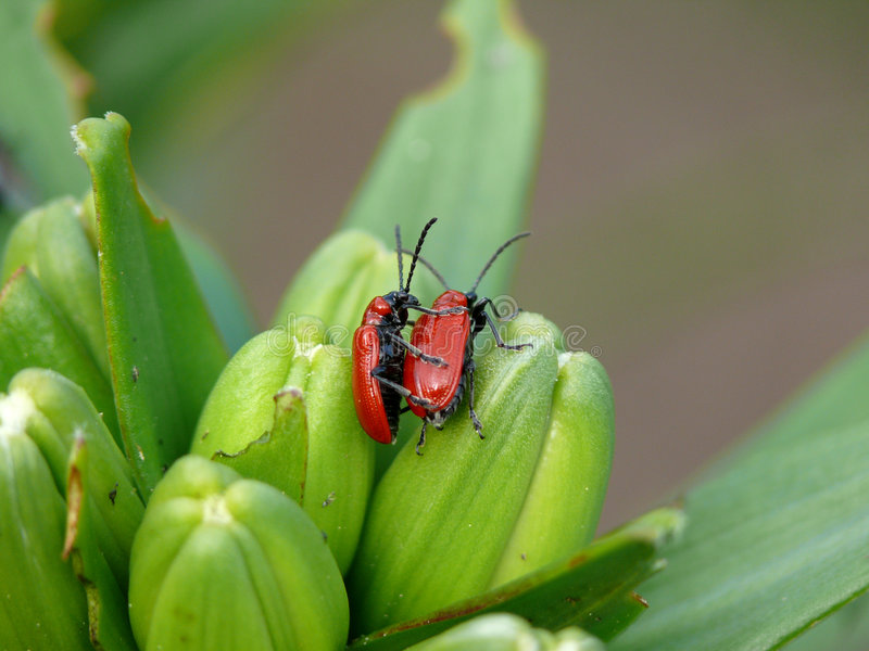 Beetle's sex. Love on the nature. Insects stock image