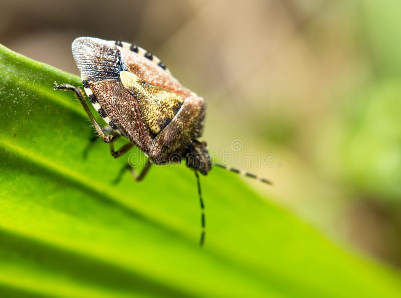 Beetle skunk in nature. macro royalty free stock photography