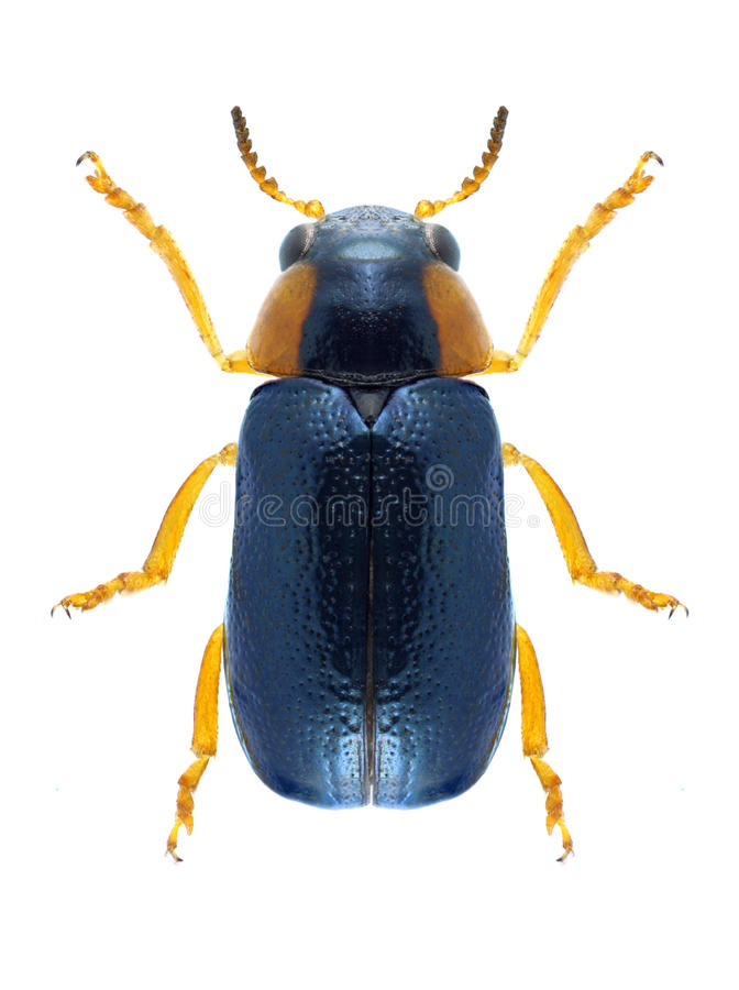 Beetle Smaragdina affinis. On a white background royalty free stock photography