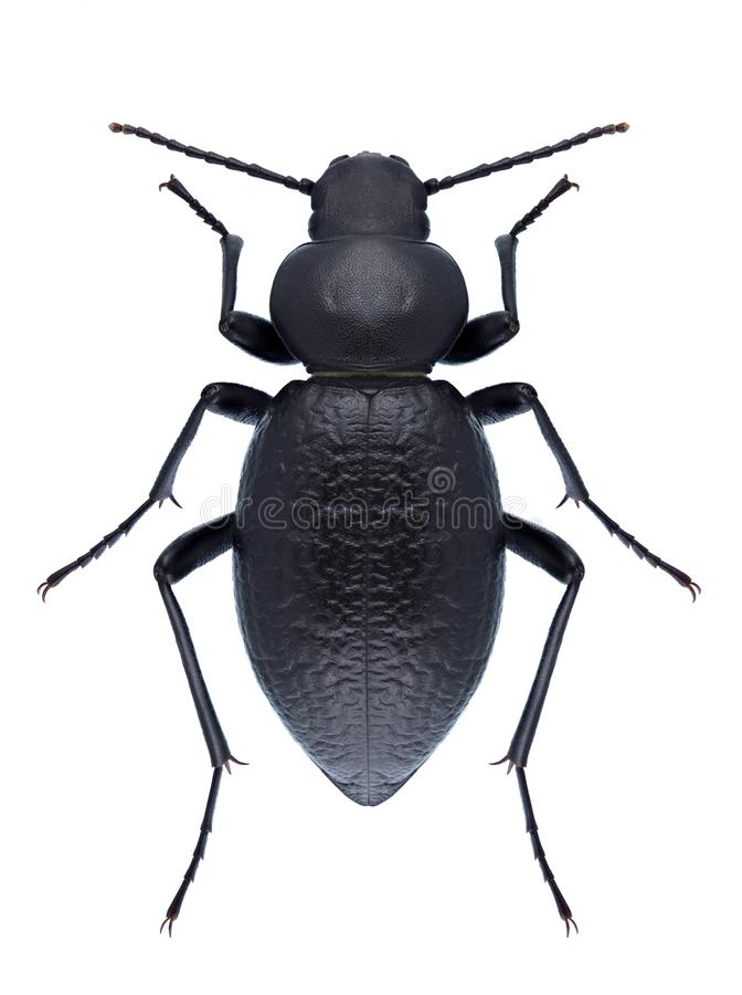 Download Beetle Tentyria Nomas Stock Photo - Image: 83721121