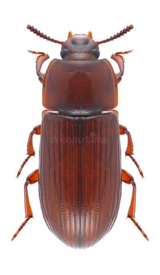 Download Beetle Uloma Culinaris Female Stock Photo - Image: 83721253