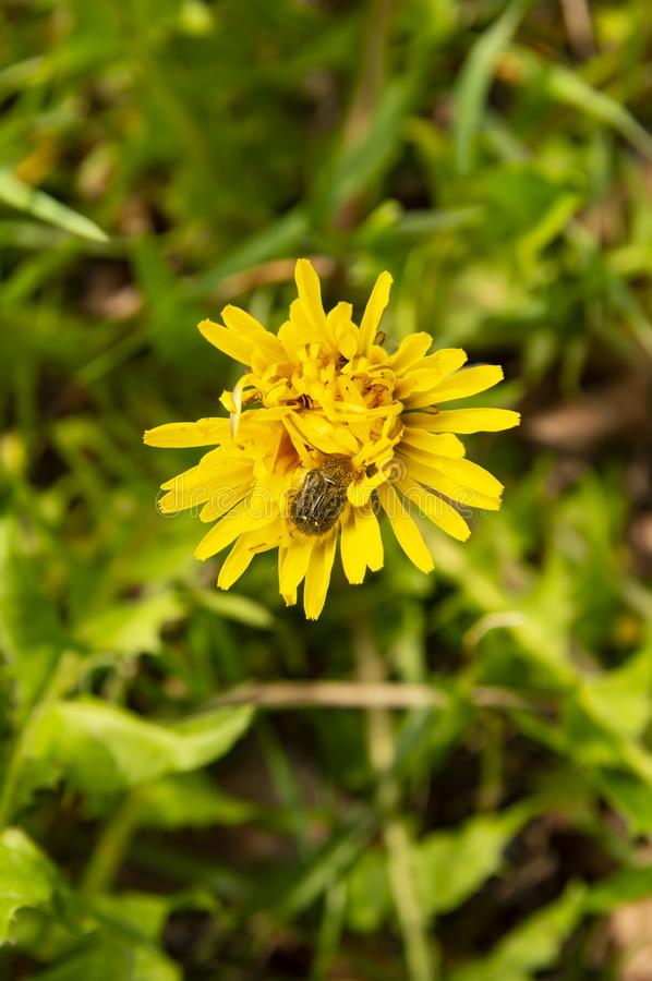 Beetle on a yellow dandelion flower stock photo