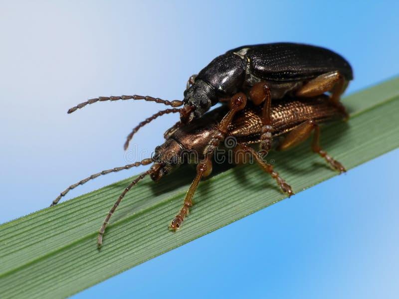 Download Beetles in love stock photo. Image of love, closeup, beautiful - 5199298