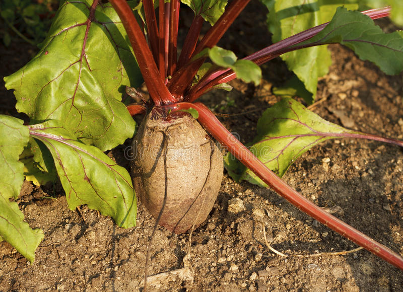 Download Beetroot Royalty Free Stock Photography - Image: 18057457